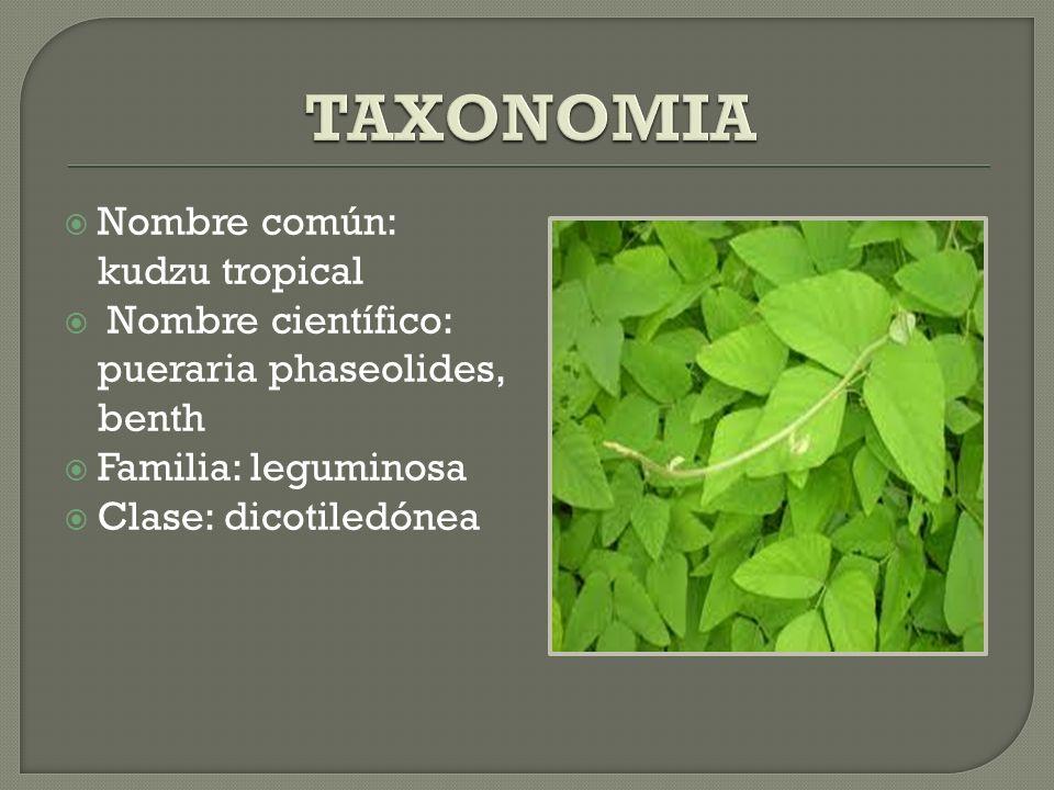 Nombre común: kudzu tropical Nombre científico: pueraria phaseolides, benth Familia: leguminosa Clase: dicotiledónea