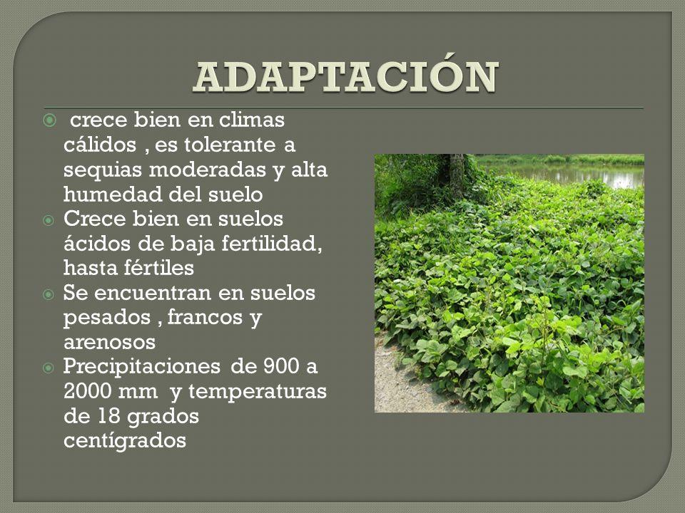 crece bien en climas cálidos, es tolerante a sequias moderadas y alta humedad del suelo Crece bien en suelos ácidos de baja fertilidad, hasta fértiles