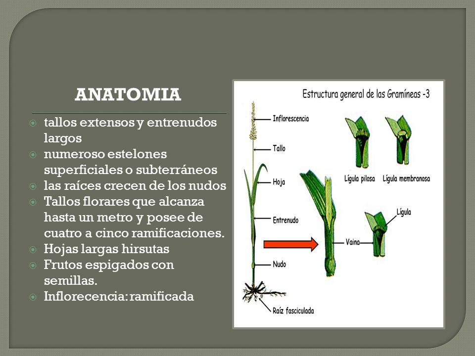 ANATOMIA tallos extensos y entrenudos largos numeroso estelones superficiales o subterráneos las raíces crecen de los nudos Tallos florares que alcanz
