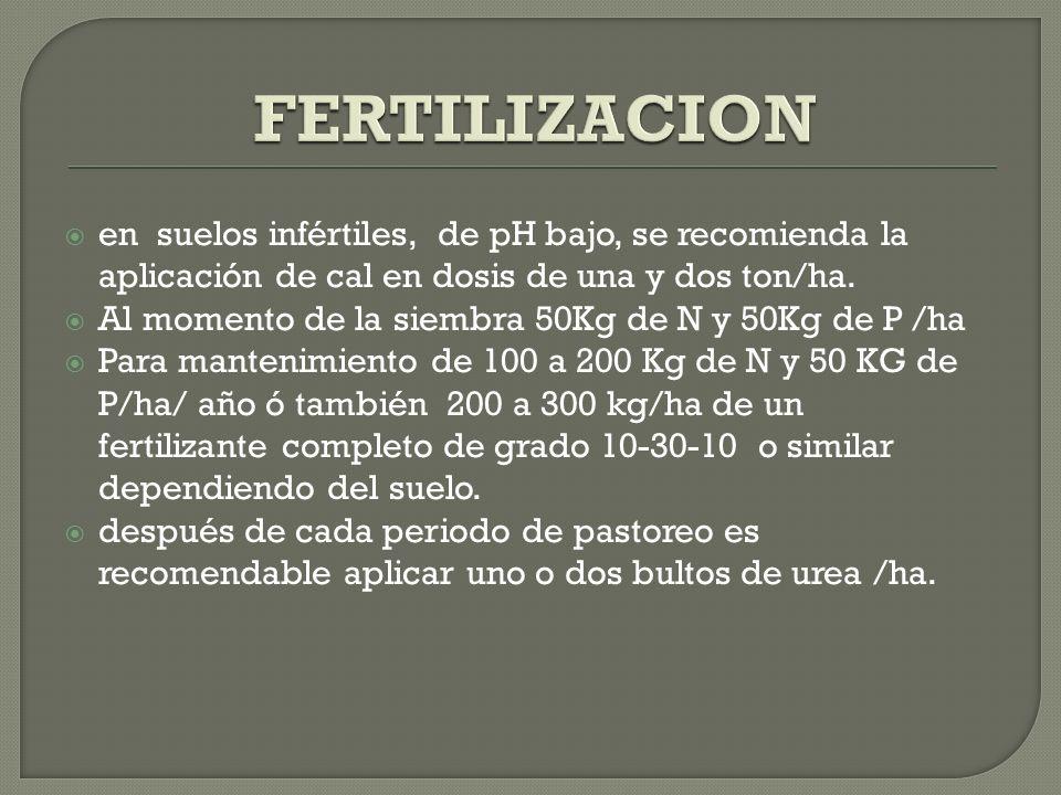 Control de malezas de 40 a 60 días después de la siembra Se presentan malezas de hoja ancha que se controla con herbicidas o con guadañas