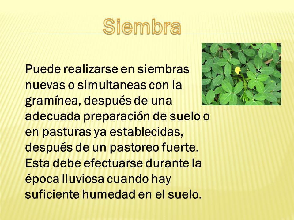 Puede realizarse en siembras nuevas o simultaneas con la gramínea, después de una adecuada preparación de suelo o en pasturas ya establecidas, después