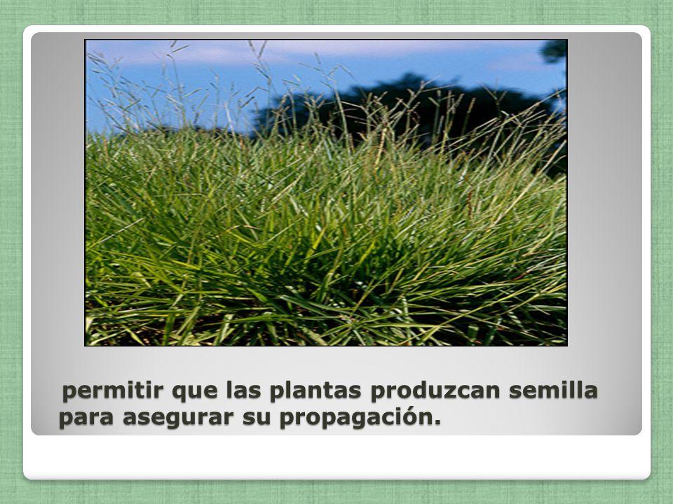 permitir que las plantas produzcan semilla para asegurar su propagación. permitir que las plantas produzcan semilla para asegurar su propagación.