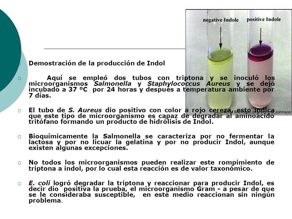 Demostración de la producción de Indol Aquí se empleó dos tubos con triptona y se inoculó los microorganismos Salmonella y Staphylococcus Aureus y se dejó incubado a 37 ºC por 24 horas y después a temperatura ambiente por 7 días.