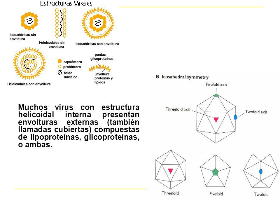 Muchos virus con estructura helicoidal interna presentan envolturas externas (también llamadas cubiertas) compuestas de lipoproteínas, glicoproteínas,