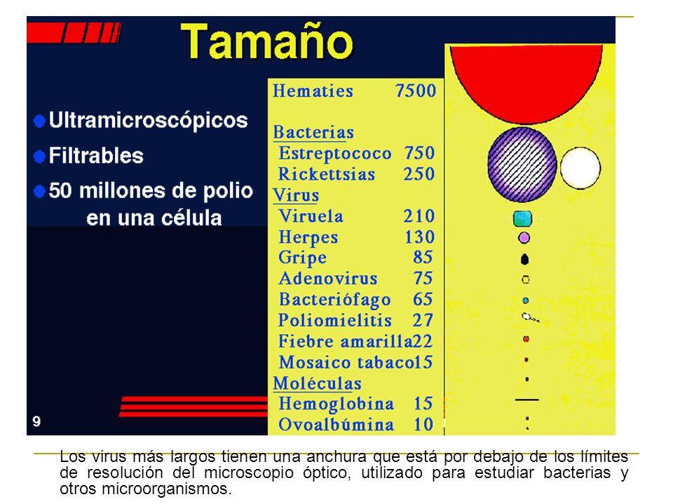 Los virus más largos tienen una anchura que está por debajo de los límites de resolución del microscopio óptico, utilizado para estudiar bacterias y o