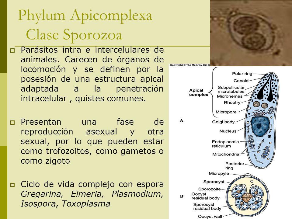 Phylum Apicomplexa Clase Sporozoa Parásitos intra e intercelulares de animales. Carecen de órganos de locomoción y se definen por la posesión de una e