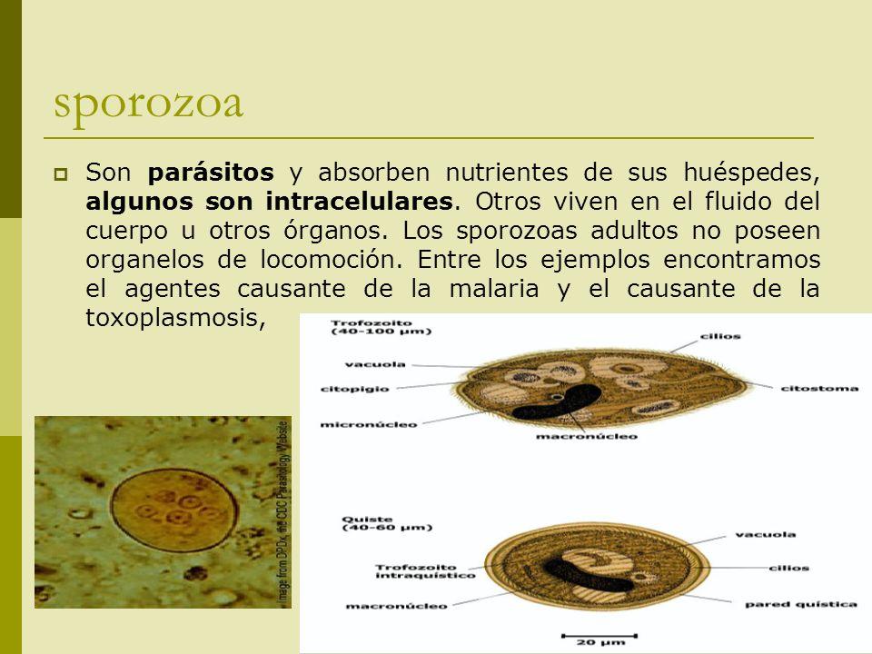 sporozoa Son parásitos y absorben nutrientes de sus huéspedes, algunos son intracelulares. Otros viven en el fluido del cuerpo u otros órganos. Los sp