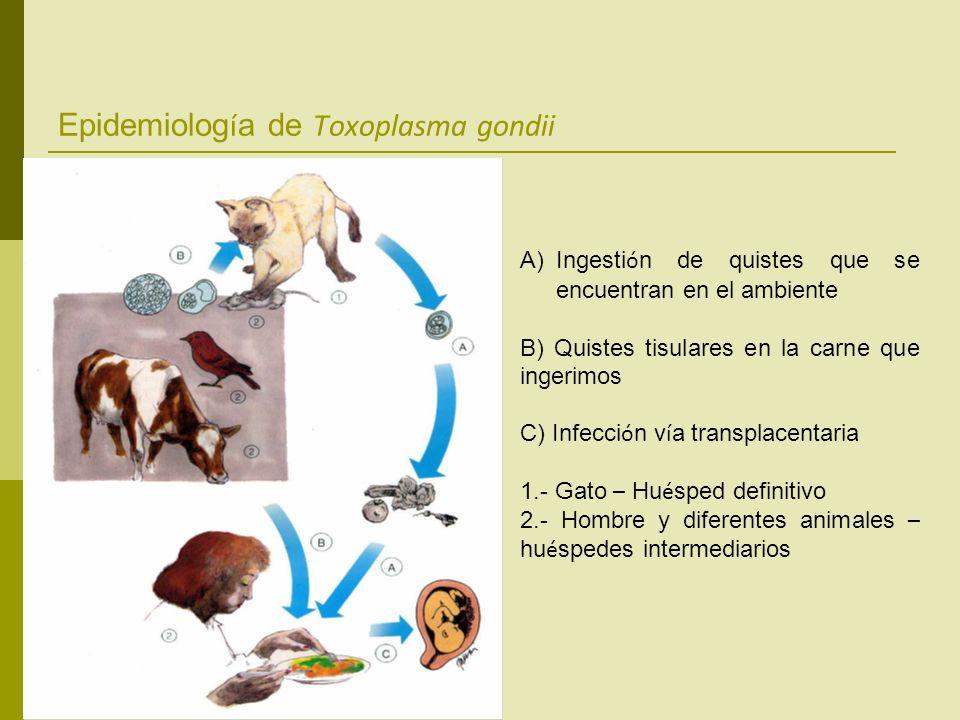 Epidemiolog í a de Toxoplasma gondii A)Ingesti ó n de quistes que se encuentran en el ambiente B) Quistes tisulares en la carne que ingerimos C) Infec