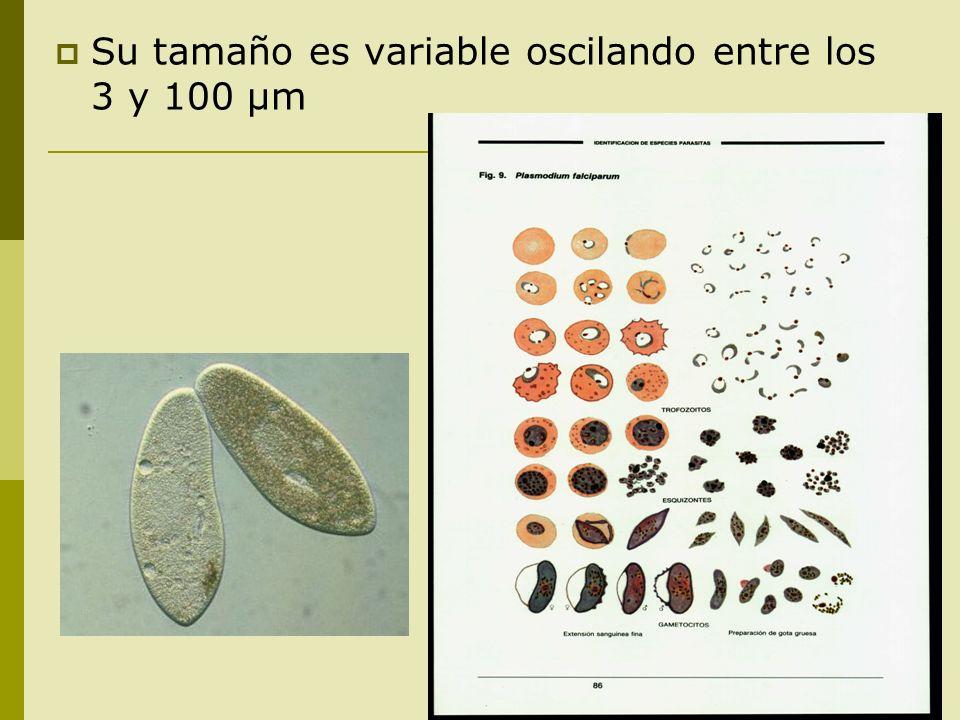 Su tamaño es variable oscilando entre los 3 y 100 μm