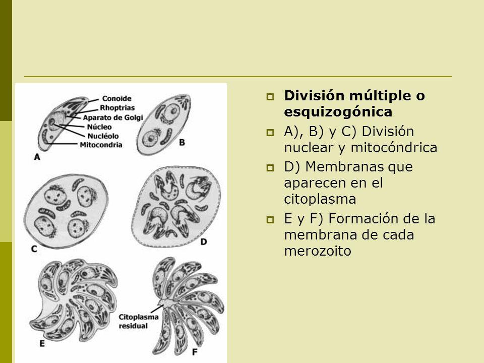 División múltiple o esquizogónica A), B) y C) División nuclear y mitocóndrica D) Membranas que aparecen en el citoplasma E y F) Formación de la membra