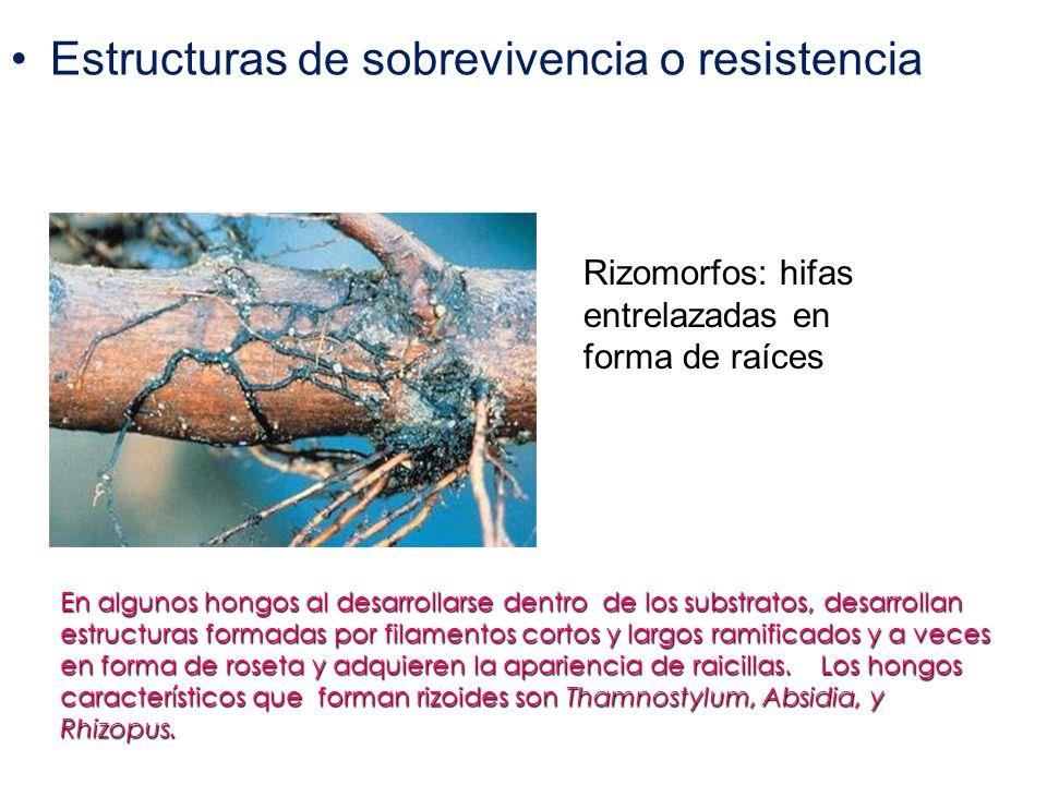 Estructuras de sobrevivencia o resistencia Rizomorfos: hifas entrelazadas en forma de raíces En algunos hongos al desarrollarse dentro de los substrat