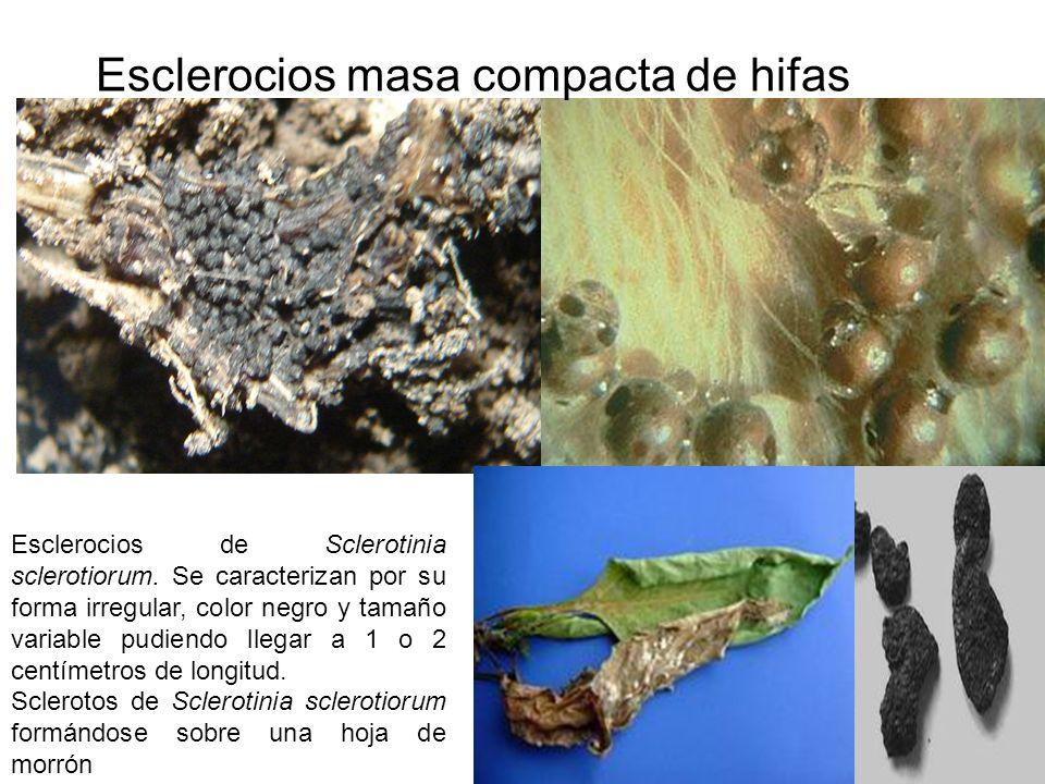 Esclerocios masa compacta de hifas Esclerocios de Sclerotinia sclerotiorum. Se caracterizan por su forma irregular, color negro y tamaño variable pudi