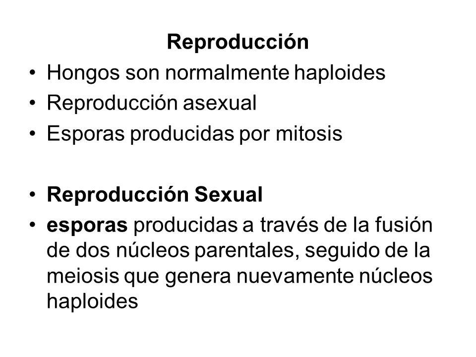 Reproducción Hongos son normalmente haploides Reproducción asexual Esporas producidas por mitosis Reproducción Sexual esporas producidas a través de l