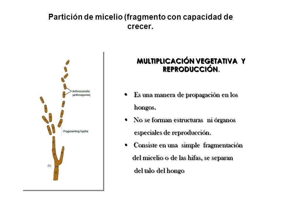 Partición de micelio (fragmento con capacidad de crecer. MULTIPLICACIÓN VEGETATIVA Y REPRODUCCIÓN. Es una manera de propagación en los Es una manera d