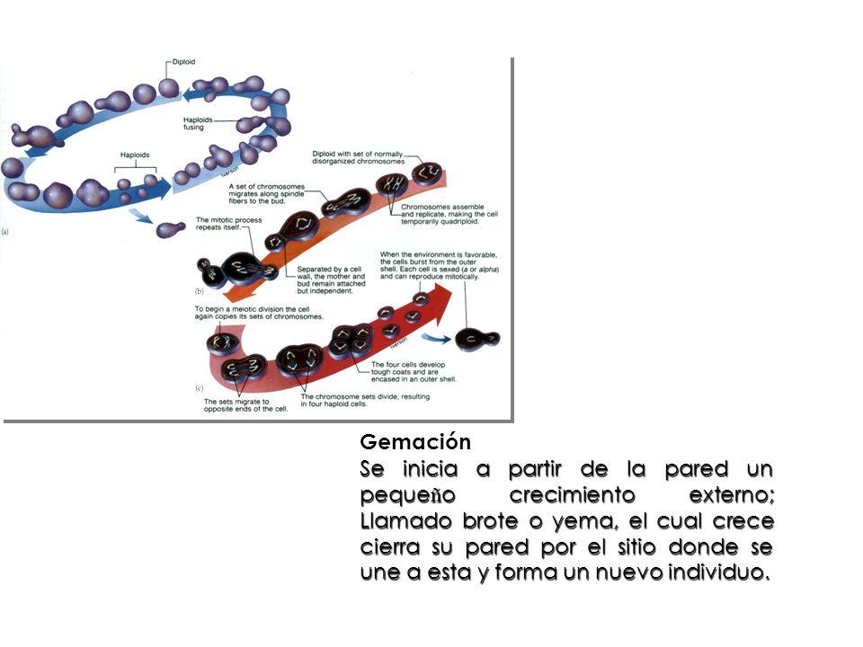 Gemación Se inicia a partir de la pared un peque ñ o crecimiento externo; Llamado brote o yema, el cual crece cierra su pared por el sitio donde se un