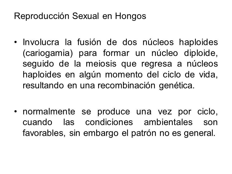 Reproducción Sexual en Hongos Involucra la fusión de dos núcleos haploides (cariogamia) para formar un núcleo diploide, seguido de la meiosis que regr