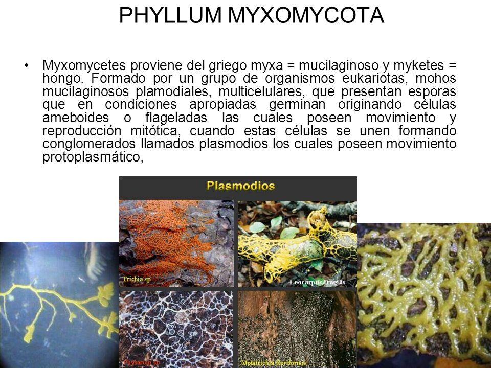 PHYLLUM MYXOMYCOTA Myxomycetes proviene del griego myxa = mucilaginoso y myketes = hongo. Formado por un grupo de organismos eukariotas, mohos mucilag