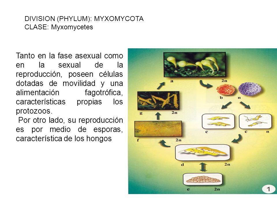 Tanto en la fase asexual como en la sexual de la reproducción, poseen células dotadas de movilidad y una alimentación fagotrófica, características pro