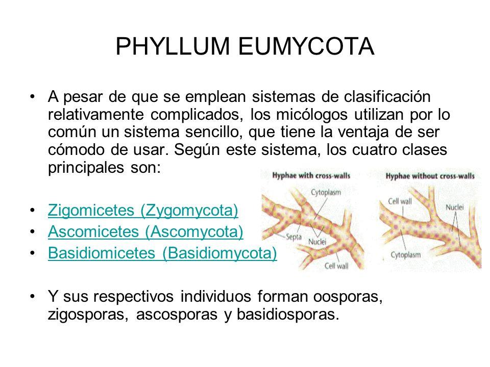 PHYLLUM EUMYCOTA A pesar de que se emplean sistemas de clasificación relativamente complicados, los micólogos utilizan por lo común un sistema sencill