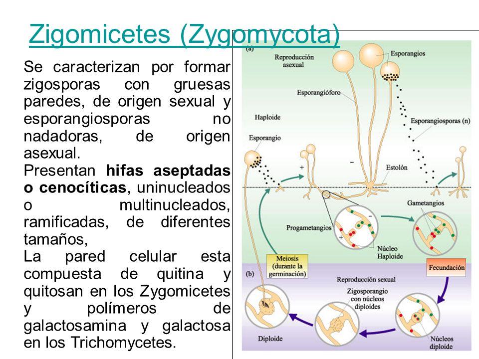 Zigomicetes (Zygomycota) Se caracterizan por formar zigosporas con gruesas paredes, de origen sexual y esporangiosporas no nadadoras, de origen asexua