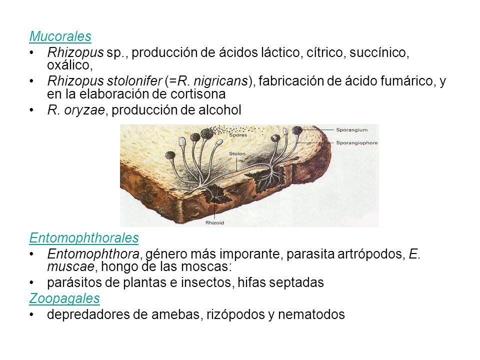 Mucorales Rhizopus sp., producción de ácidos láctico, cítrico, succínico, oxálico, Rhizopus stolonifer (=R. nigricans), fabricación de ácido fumárico,