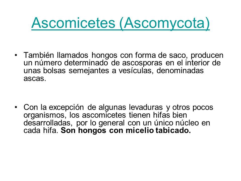 Ascomicetes (Ascomycota) También llamados hongos con forma de saco, producen un número determinado de ascosporas en el interior de unas bolsas semejan