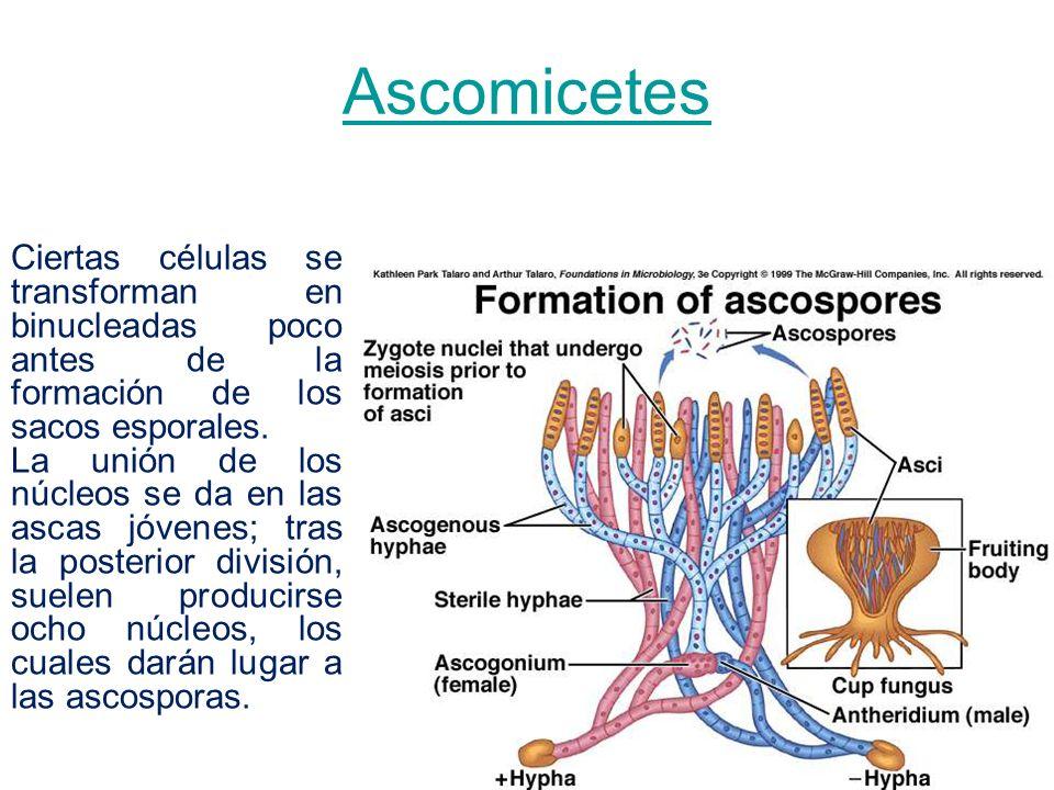 Ascomicetes Ciertas células se transforman en binucleadas poco antes de la formación de los sacos esporales. La unión de los núcleos se da en las asca