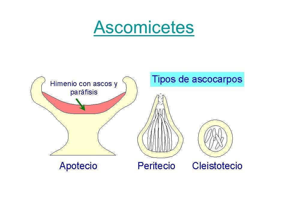 Ascomicetes
