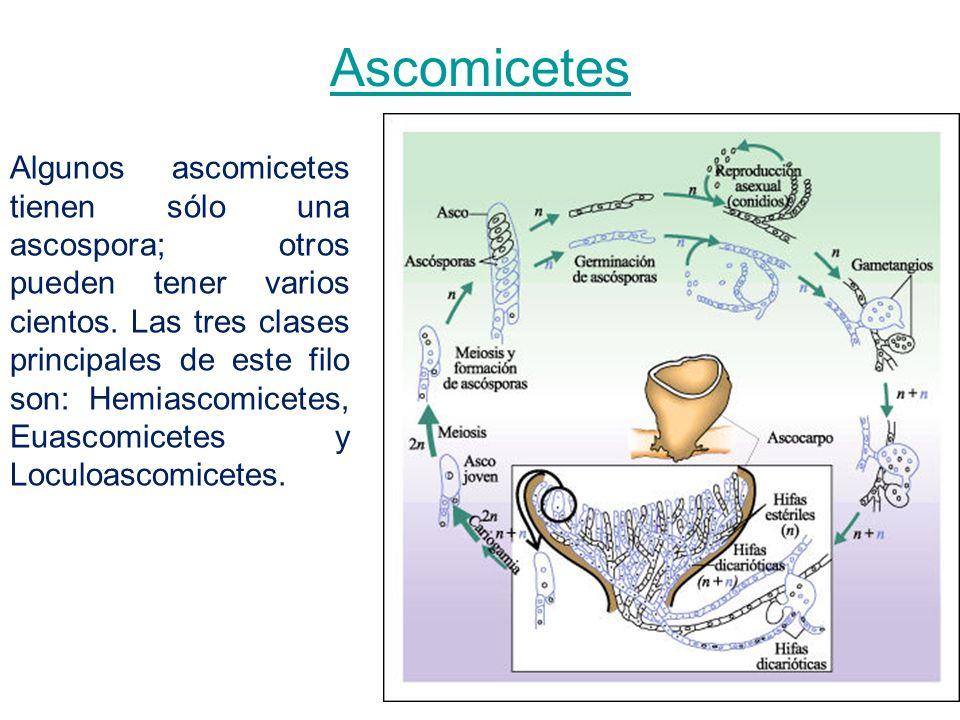 Ascomicetes Algunos ascomicetes tienen sólo una ascospora; otros pueden tener varios cientos. Las tres clases principales de este filo son: Hemiascomi