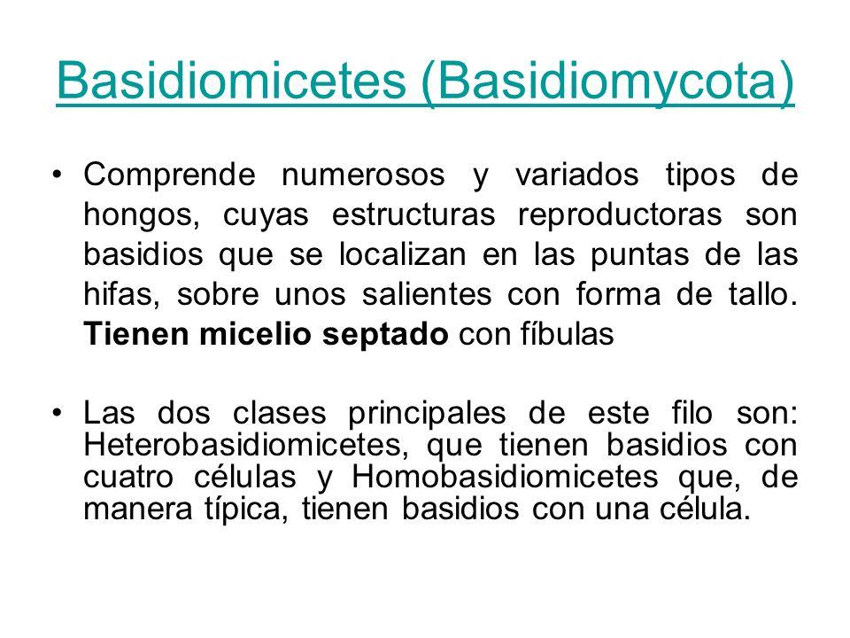 Basidiomicetes (Basidiomycota) Comprende numerosos y variados tipos de hongos, cuyas estructuras reproductoras son basidios que se localizan en las pu