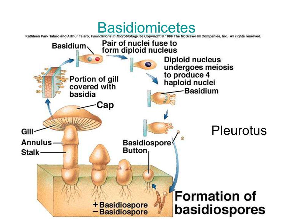 Basidiomicetes Pleurotus