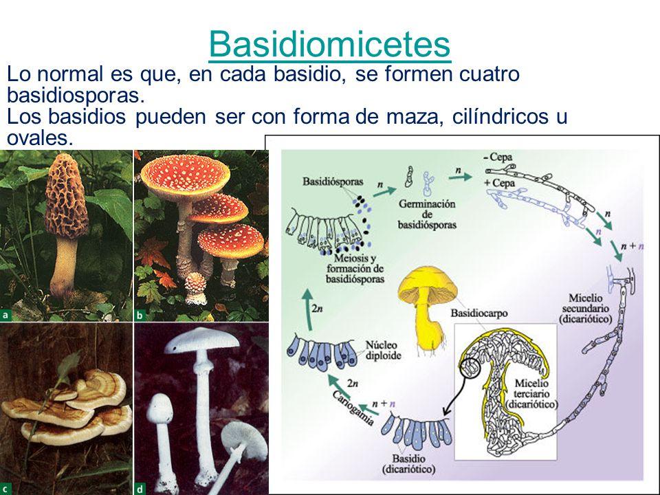 Basidiomicetes Lo normal es que, en cada basidio, se formen cuatro basidiosporas. Los basidios pueden ser con forma de maza, cilíndricos u ovales.