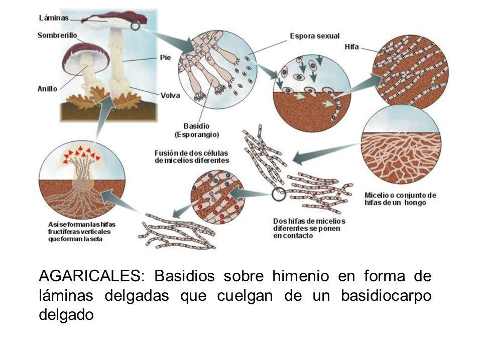 AGARICALES: Basidios sobre himenio en forma de láminas delgadas que cuelgan de un basidiocarpo delgado