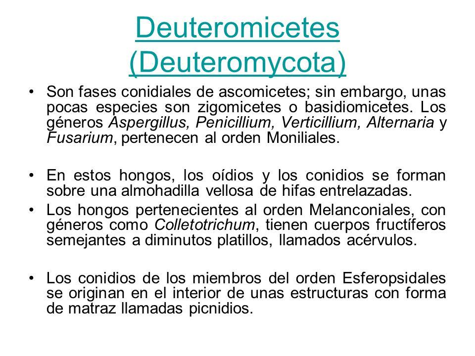 Deuteromicetes (Deuteromycota) Son fases conidiales de ascomicetes; sin embargo, unas pocas especies son zigomicetes o basidiomicetes. Los géneros Asp