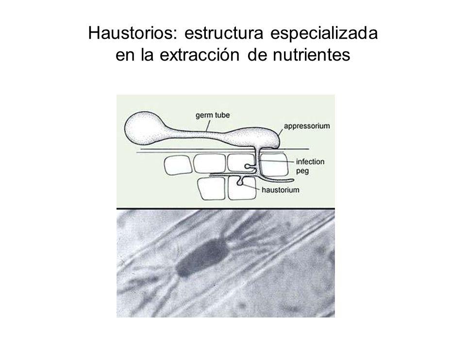 Haustorios: estructura especializada en la extracción de nutrientes