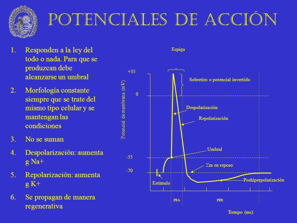 Estímulo Poshiperpolarización Umbral Sobretiro o potencial invertido Repolarización Despolarización Potencial de membrana (mV) -70 -55 0 m en reposo +
