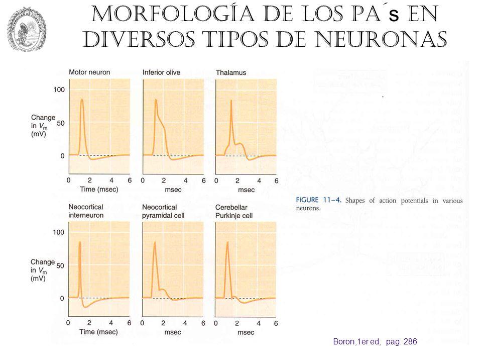 Morfología de los PA´ s en diversos tipos de neuronas Boron,1er ed, pag. 286