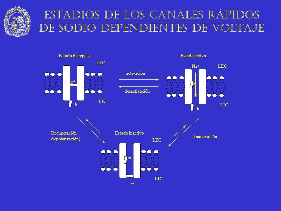 m Na+ activación h m Estado de reposo LEC LIC h Estado activo LEC LIC h m Estado inactivo LEC LIC desactivación Inactivación Recuperación (repolarizac