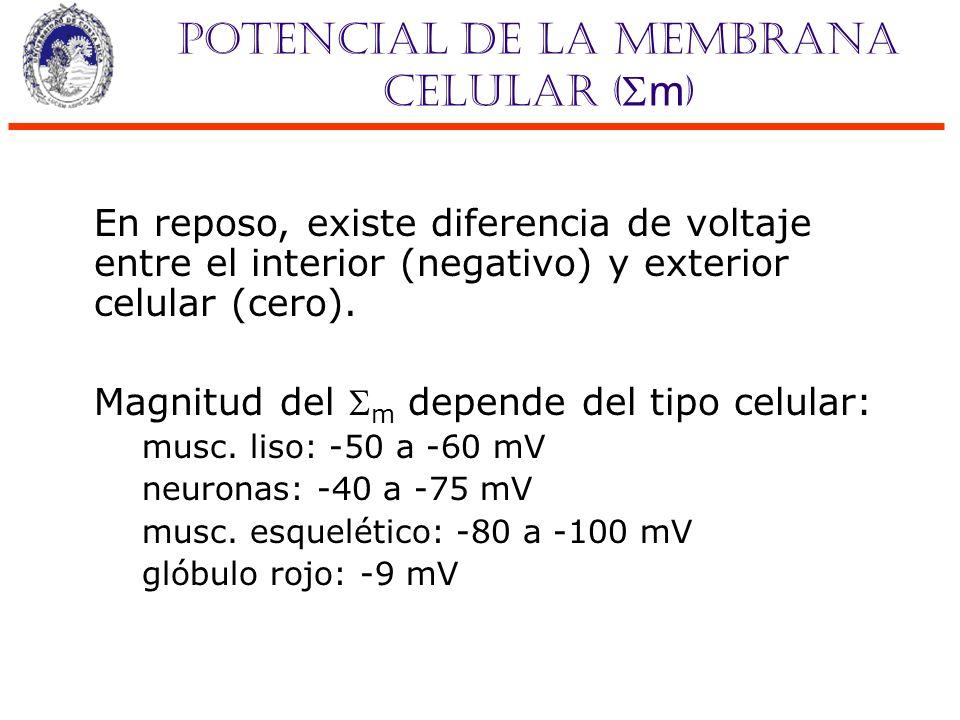 Potencial de la membrana celular ( m ) En reposo, existe diferencia de voltaje entre el interior (negativo) y exterior celular (cero). Magnitud del m