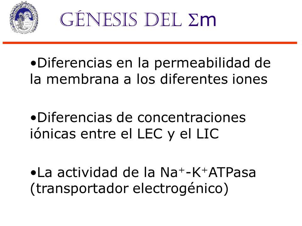 Génesis del m Diferencias en la permeabilidad de la membrana a los diferentes iones Diferencias de concentraciones iónicas entre el LEC y el LIC La ac