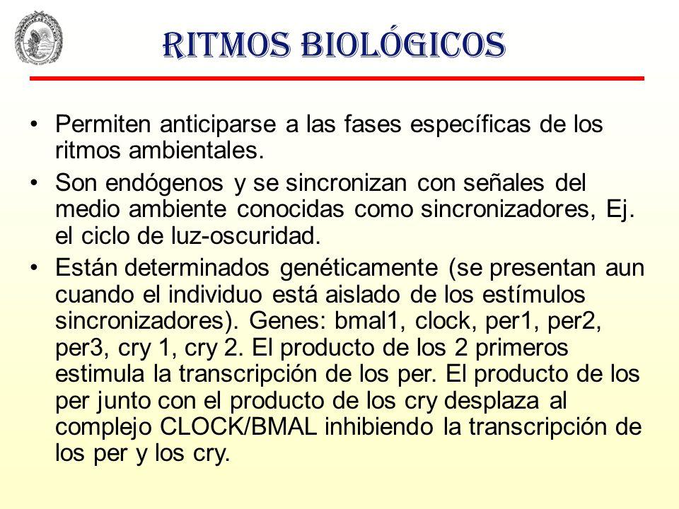 Ritmos biológicos Permiten anticiparse a las fases específicas de los ritmos ambientales. Son endógenos y se sincronizan con señales del medio ambient