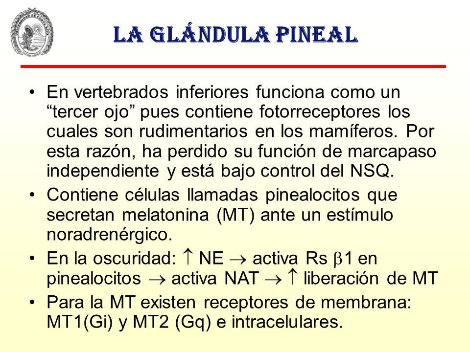 La glándula pineal En vertebrados inferiores funciona como un tercer ojo pues contiene fotorreceptores los cuales son rudimentarios en los mamíferos.