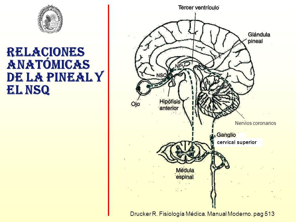 Relaciones anatómicas de la pineal y el NSQ Drucker R. Fisiología Médica. Manual Moderno. pag 513 Nervios coronarios cervical superior
