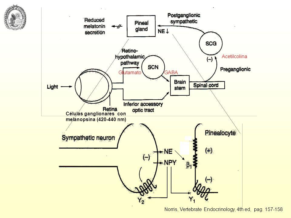 Células ganglionares con melanopsina (420-440 nm) GlutamatoGABA Acetilcolina Norris, Vertebrate Endocrinology, 4th ed, pag. 157-158