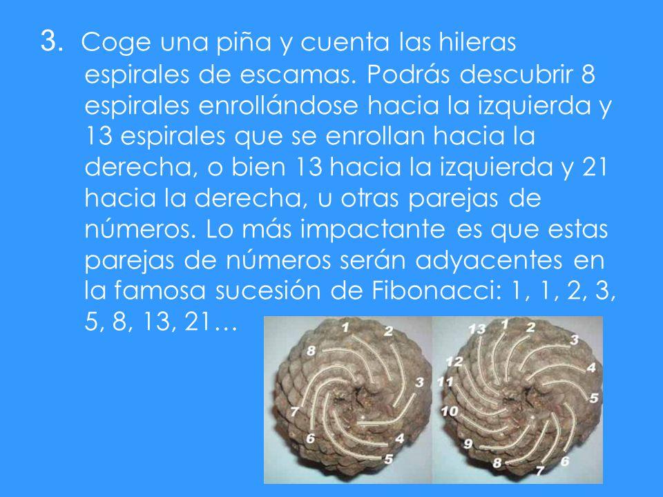 3. Coge una piña y cuenta las hileras espirales de escamas. Podrás descubrir 8 espirales enrollándose hacia la izquierda y 13 espirales que se enrolla