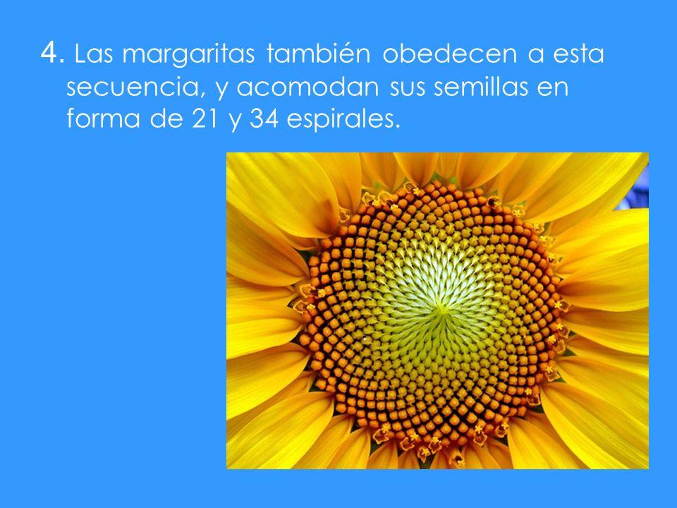 4. Las margaritas también obedecen a esta secuencia, y acomodan sus semillas en forma de 21 y 34 espirales.