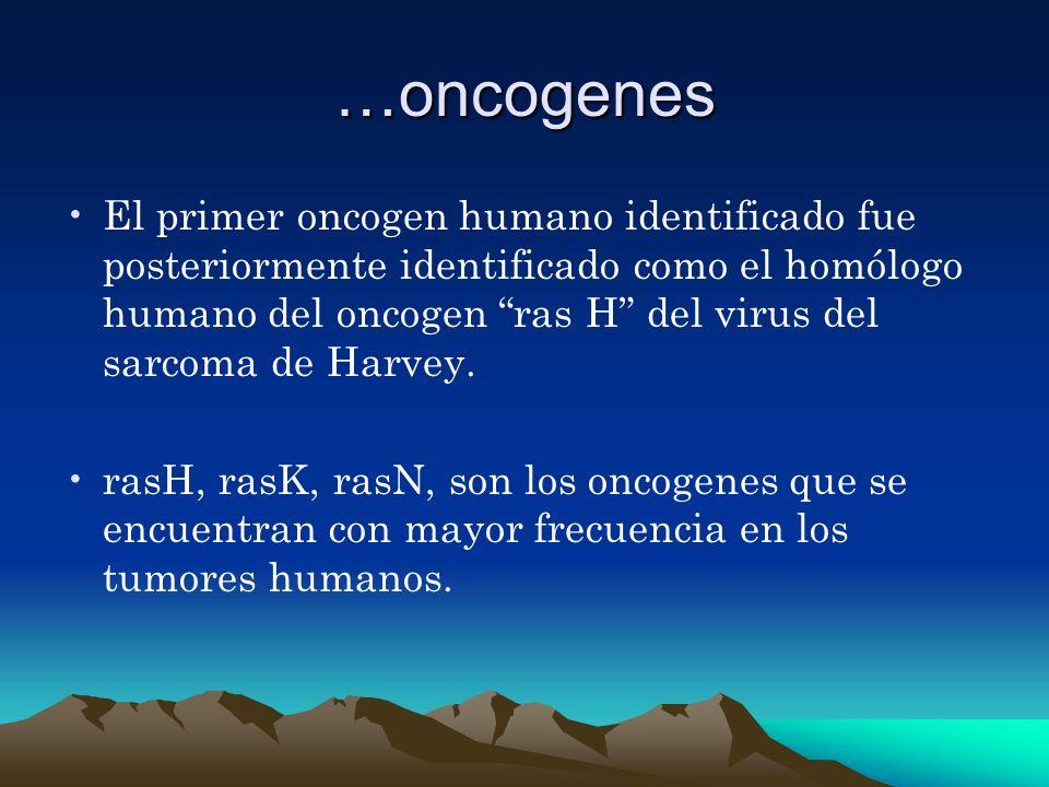 …oncogenes El primer oncogen humano identificado fue posteriormente identificado como el homólogo humano del oncogen ras H del virus del sarcoma de Ha