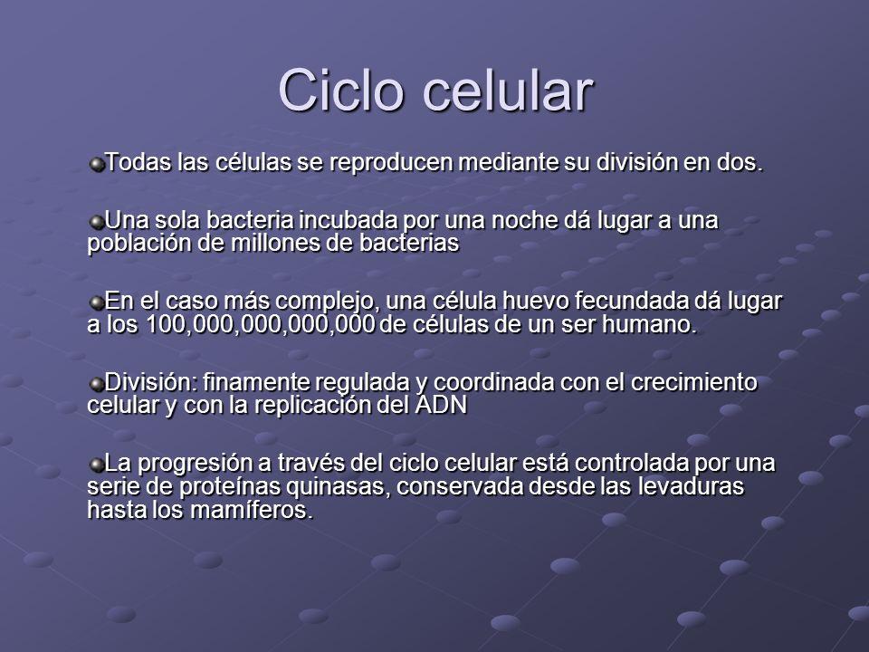 Ciclo celular Todas las células se reproducen mediante su división en dos. Una sola bacteria incubada por una noche dá lugar a una población de millon