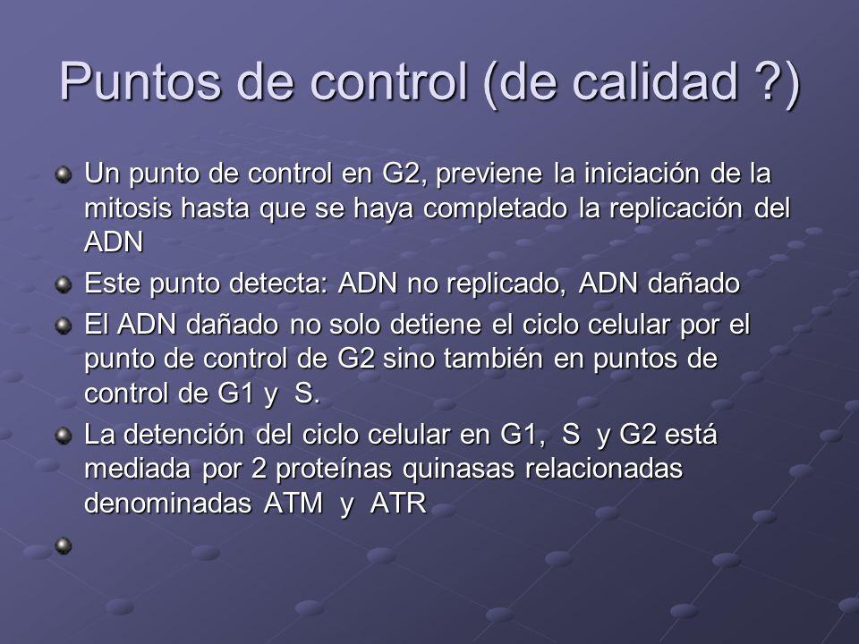 Puntos de control (de calidad ?) Un punto de control en G2, previene la iniciación de la mitosis hasta que se haya completado la replicación del ADN E