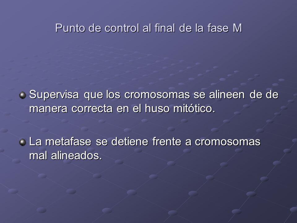 Punto de control al final de la fase M Supervisa que los cromosomas se alineen de de manera correcta en el huso mitótico. La metafase se detiene frent